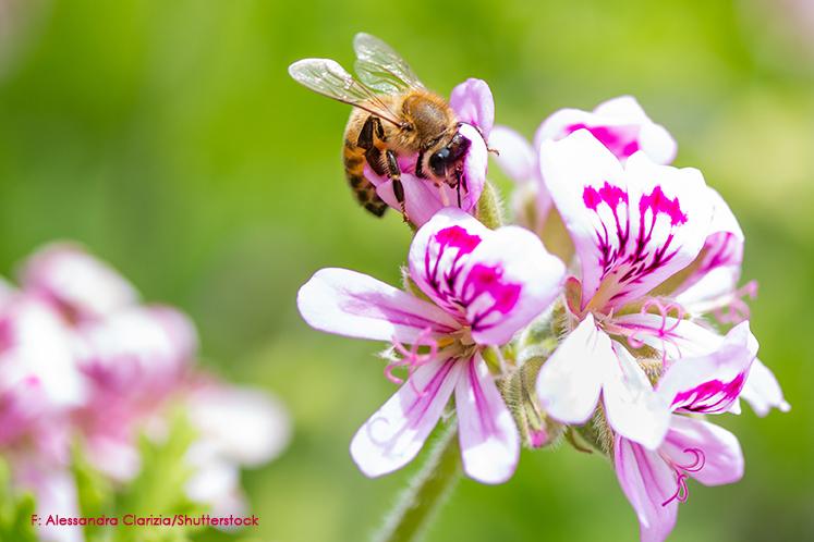 honigbiene auf bluete